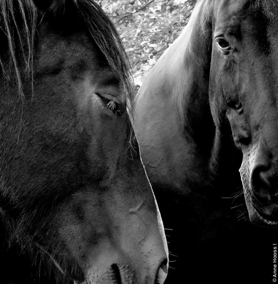 Hier sieht man 2 Pferdeköpfe. Foto von Anne Hooss