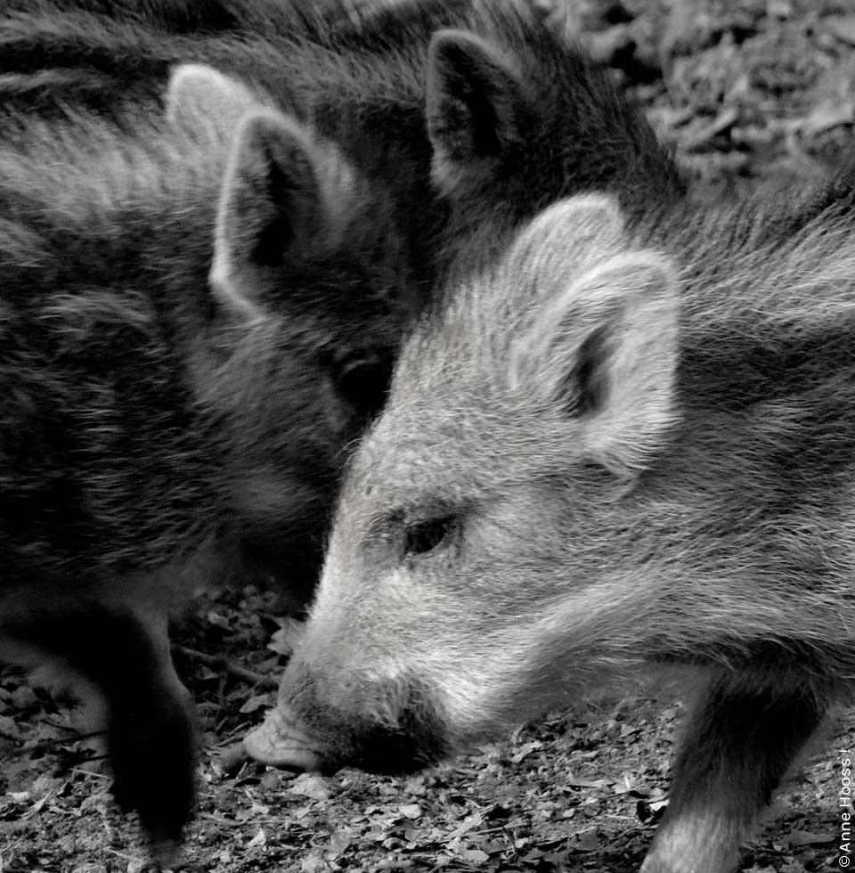 Hier sieht man Wildschweinferkel. Foto von Anne Hooss